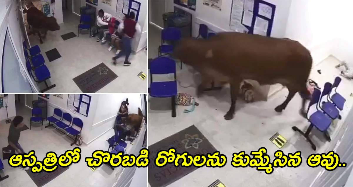 Colomboa cow came in Hospital